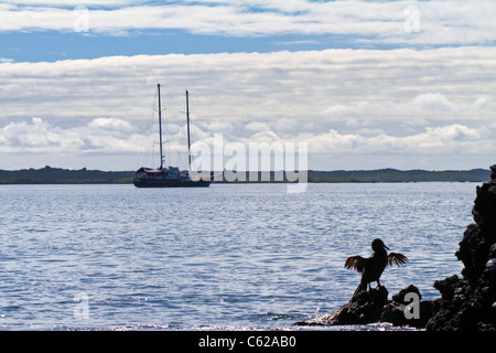 A Flightless cormorant dries its wings in the sun at Elizabeth Bay, Galapagos - Stock Photo