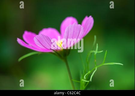 Cosmos bipinnatus flower - Stock Photo