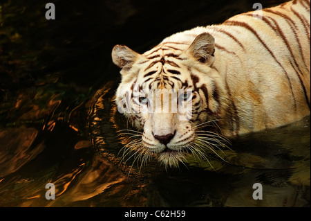 Portrait of a white tiger in the water - Stock Photo