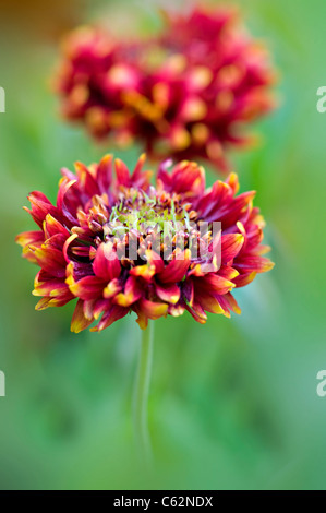 Beautiful, vibrant summer flowering Gaillardia 'Pantomime' mixed flowers also known as Blanket flowers, taken against - Stock Photo