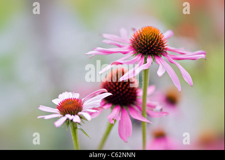 Close-up image of the summer flowering Eastern Purple Coneflower - Echinacea purpurea pink flowers, image taken - Stock Photo