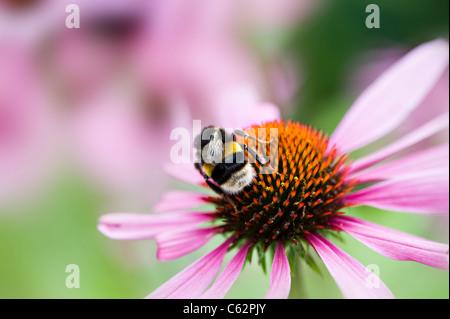 Echinacea purpurea Eastern purple cone flowers or Purple coneflower with Bee collecting pollen - Stock Photo