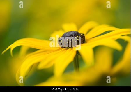 Rudbeckia Fulgida  var. sullivantii  'Goldsturm' yellow coneflower
