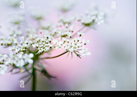 Anthriscus Sylvestris - Cow parsley or Queen Anne's Lace - Stock Photo