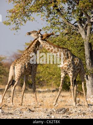 Two male giraffes fighting. Etosha National Park, Namibia. - Stock Photo