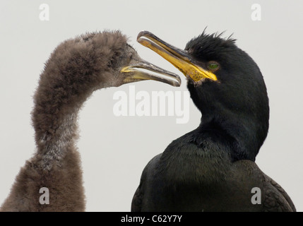 SHAG Phalacrocorax aristotelis  An adult and it's growing chick against a milky white overcast sky Farne Islands, - Stock Photo