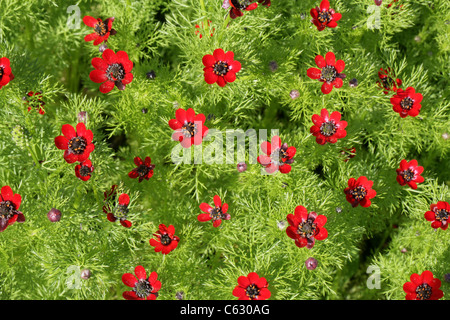 Autumn Adonis, Bird's-Eye, Blood-Drops, Blooddrops, Pheasant's-Eye, Pheasant's Eye, Adonis annua, Ranunculaceae. - Stock Photo