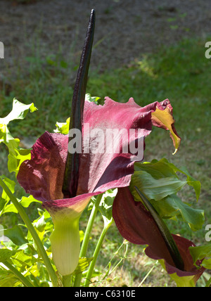 DRAGON ARUM PLANT IN FLOWER - Stock Photo