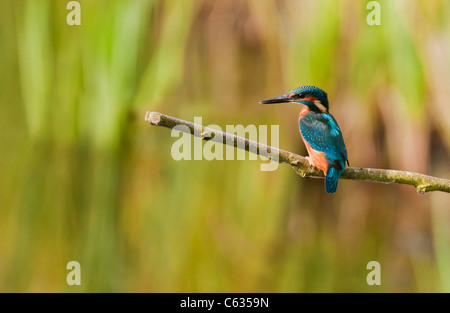 Male Common Kingfisher (Alcedo atthis) perched - Stock Photo