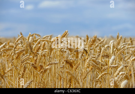 Ripening golden corn ears in an English field ready to be harvested. - Stock Photo