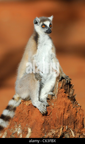 Ring-tailed Lemur in the Berenty Reserve, Madagascar, August 2010. - Stock Photo