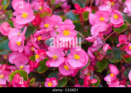 Wax Begonia flowers - Stock Photo