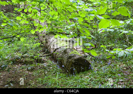 Fallen tree trunk amongst the bluebells under a canopy of trees at Appleton's Fords Rough in Warrington, Cheshire, - Stock Photo