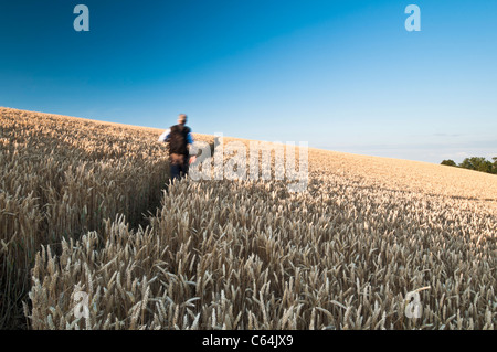 A lone male walker on a narrow footpath through a crop of ripened Wheat bathed in warm evening sunshine near East - Stock Photo