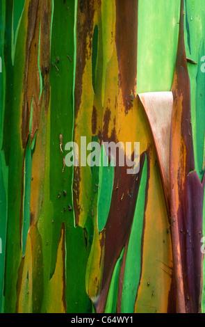 Rainbow Eucalyptus,  Eucalyptus deglupta, also known as Mindanao Gum, Rainbow Gum, bark, Arenal, Costa Rica - Stock Photo