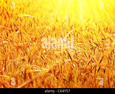Wheat field sunny landscape, closeup on rye with selective focus, harvest concept - Stock Photo