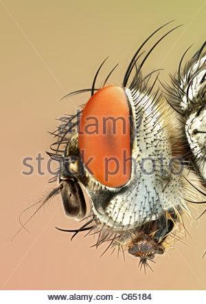 Flesh-fly (Scatophaga sp.), close-up of head. - Stock Photo