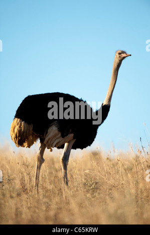 Ostrich (Struthio camelus), Ithala Game Reserve, South Africa - Stock Photo