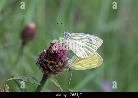 Green-veined White Pieris napi Butterflies Mating UK - Stock Photo