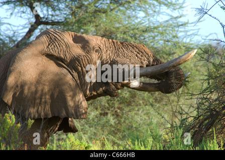 Old african elephant eating, Samburu national park, Kenya - Stock Photo