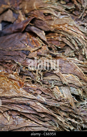 Dried tobacco leaves ready to be rolled into puros (cigars), at one of the numerous cigar factories in the city - Stock Photo