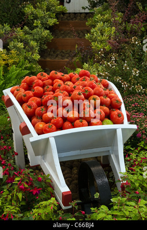 Wheelbarrow full of fruit vegetables; Peppers & tomatoes in a white cart. Kirkham Prison Garden at the 28th Southport - Stock Photo