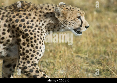 Close-up of a female cheetah (Acinonyx jubatus) with two cubs from Masai Mara, Kenya - Stock Photo
