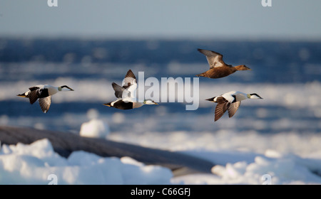 Common Eider (Somateria mollissima). Three drakes and a duck in flight above the ice-covered Baltic Sea. - Stock Photo