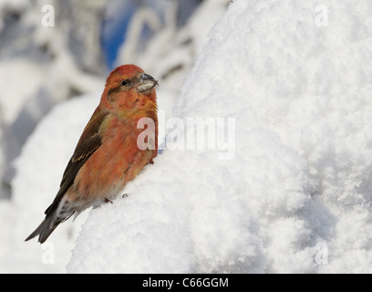 Common Crossbill, Red Crossbill (Loxia curvirostra). Male perched in a snowy spruce. - Stock Photo
