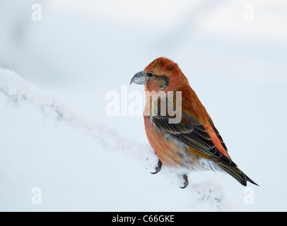 Common Crossbill, Red Crossbill (Loxia curvirostra). Male perched on a snowy twig. - Stock Photo