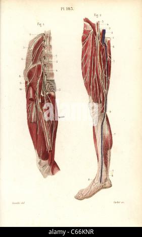 Lumbar plexus and crural nerves. - Stock Photo