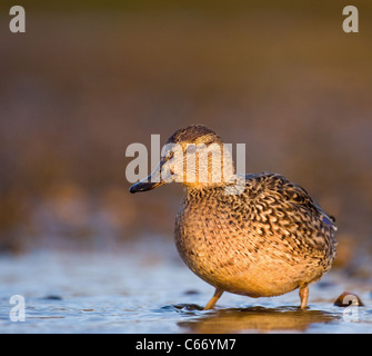 TEAL Anas crecca Profile of an adult female on the fringes of a shallow tidal lagoon. Norfolk, UK. Photographer.Andrew - Stock Photo