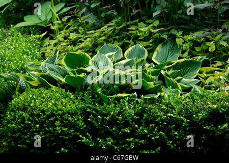 Hosta (Hosta) and Box ((Buxus sempervirens), perennial. - Stock Photo