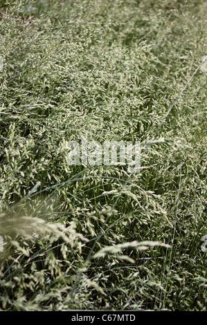 Tall Oat Grass (Arrhenatherum elatius (L.) Beauv.) a common perennial tall grass viewed from above. - Stock Photo