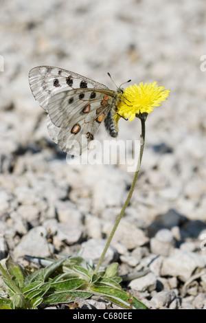 Apollo or Mountain Apollo (Parnassius apollo) on yellow flower - Stock Photo