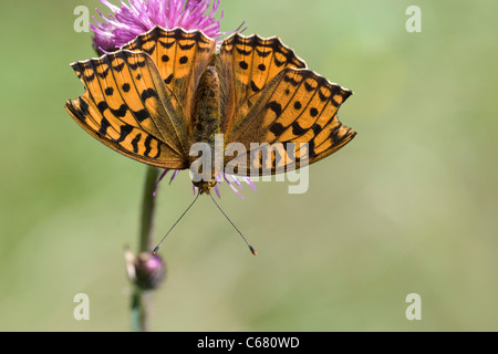 Dark green fritillary (Argynnis adippe) on a flower - Stock Photo