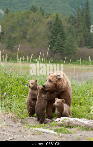 Stock photo of brown bear triplets huddled by their mom on the beach.