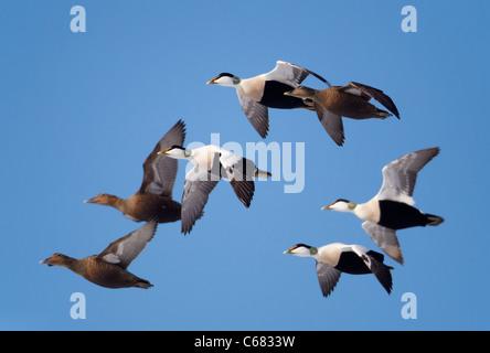 Common Eider (Somateria mollissima). Ducks and drakes in flight. - Stock Photo