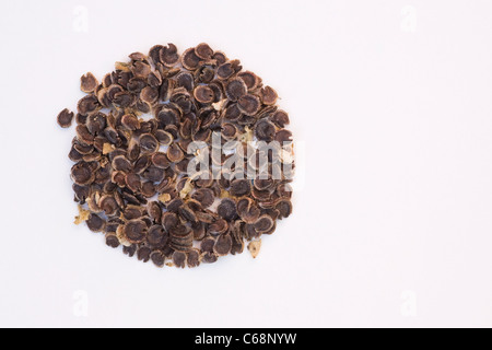 Alcea rosea. Hollyhock seeds on a white background. - Stock Photo