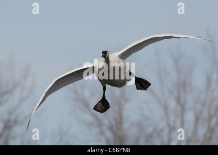 Trumpeter Swan (Cygnus buccinator) Coming in for a Landing - Stock Photo