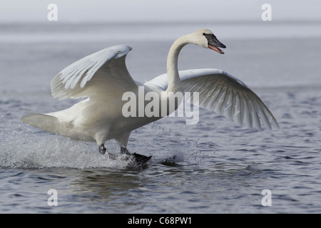 Trumpeter Swan (Cygnus buccinator) - Stock Photo