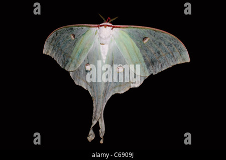 The Indian Moon Moth or Indian Luna Moth (Actias selene) - Stock Photo