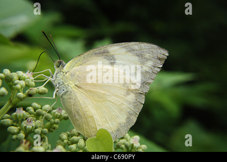 The Green-veined White butterfly (Pieris napi) - Stock Photo