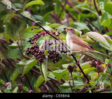 Juvenile Whitethroat (Sylvia communis) feasting on ripened Elderberries - Stock Photo