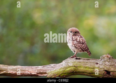 Juvenile Little Owl (Athene noctua) perched on tree branch - Stock Photo