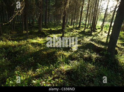 Typical Finnish spruce ( picea abies ) forest where ground is covered with moss , Finland - Stock Photo