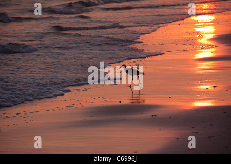 Sandpiper searching for food in the surf at sunset, Alligator Point, Franklin County, Florida USA - Stock Photo
