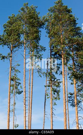 Finnish pine ( pinus sylvestris ) trees against blue sky , Finland - Stock Photo