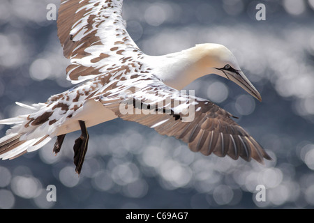juvenile Northern gannet; Latin: Morus bassanus - Stock Photo