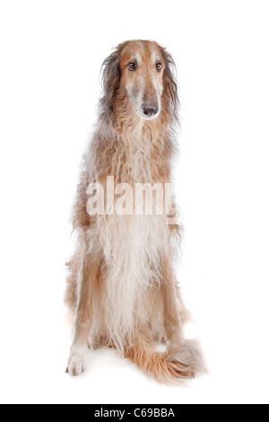Borzoi or Russian Wolfhound, in front of a white background - Stock Photo